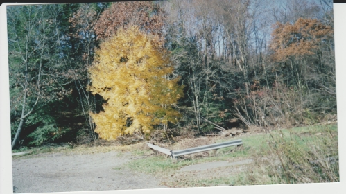 beautiful-yellow-maple