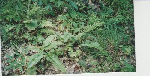 ferns-in-woods
