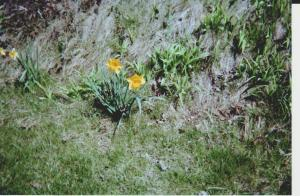 daffodils-by-hill-in-front-of-house