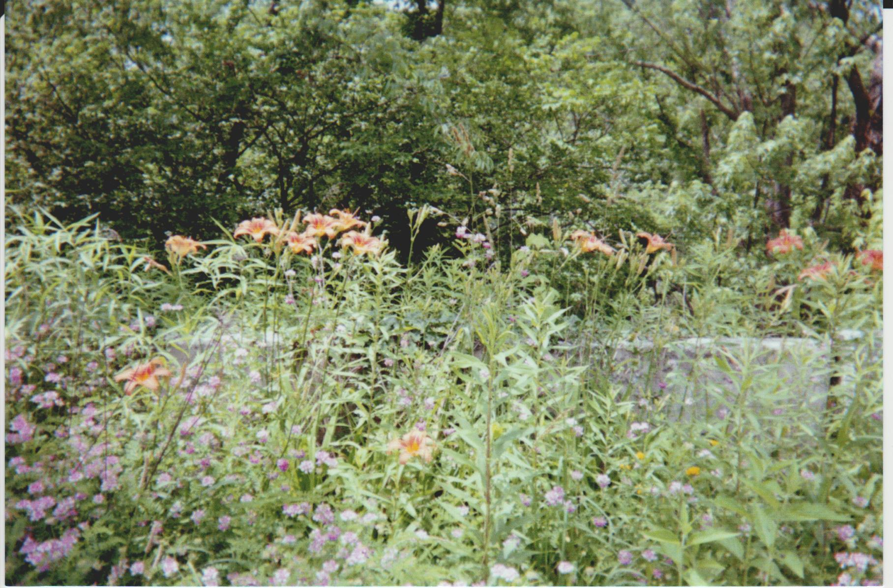 Daylilies and Crown Vetch