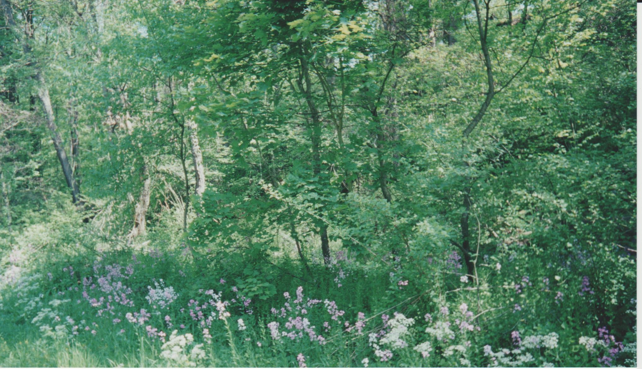 Wild Phlox, trees along trail