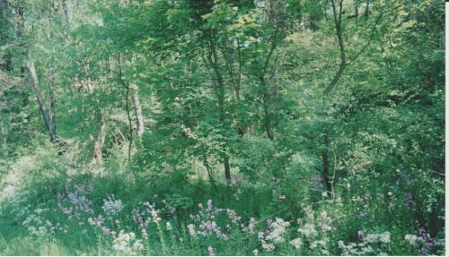 Wild Phlox, trees along trail