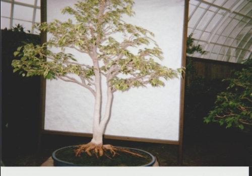 Bonsai, Phipps