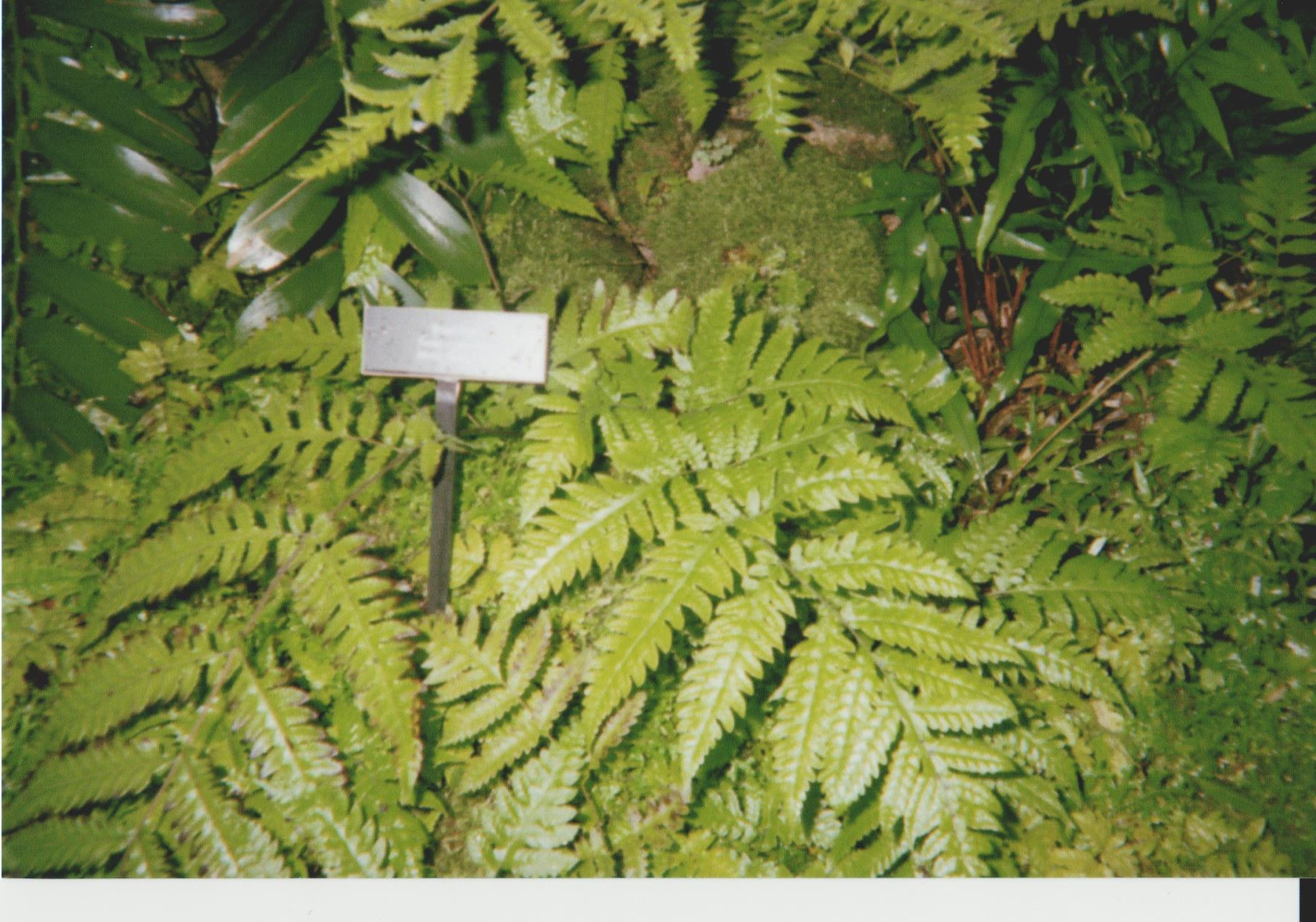 Ferns at Phipps