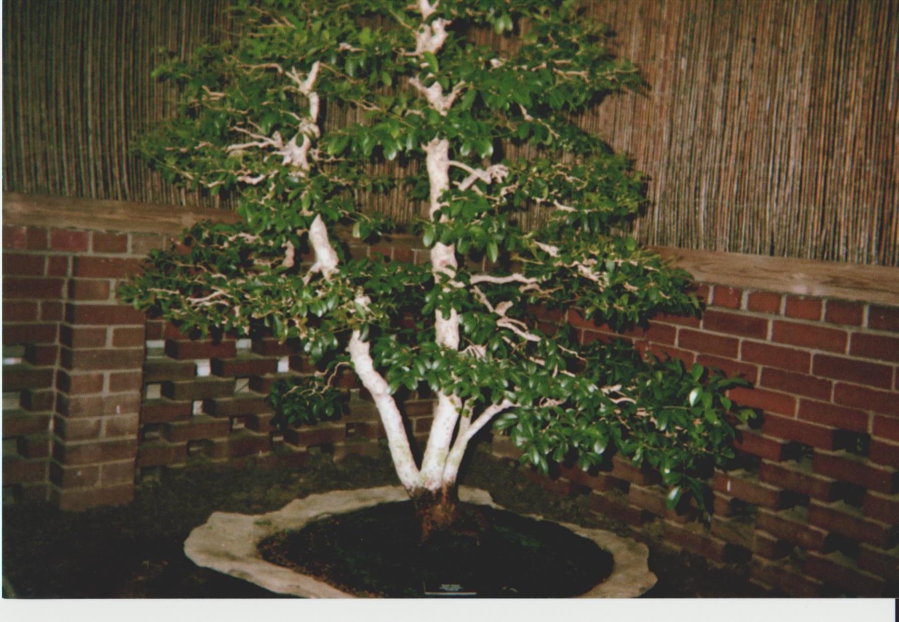 Lrg. Bonsai Tree