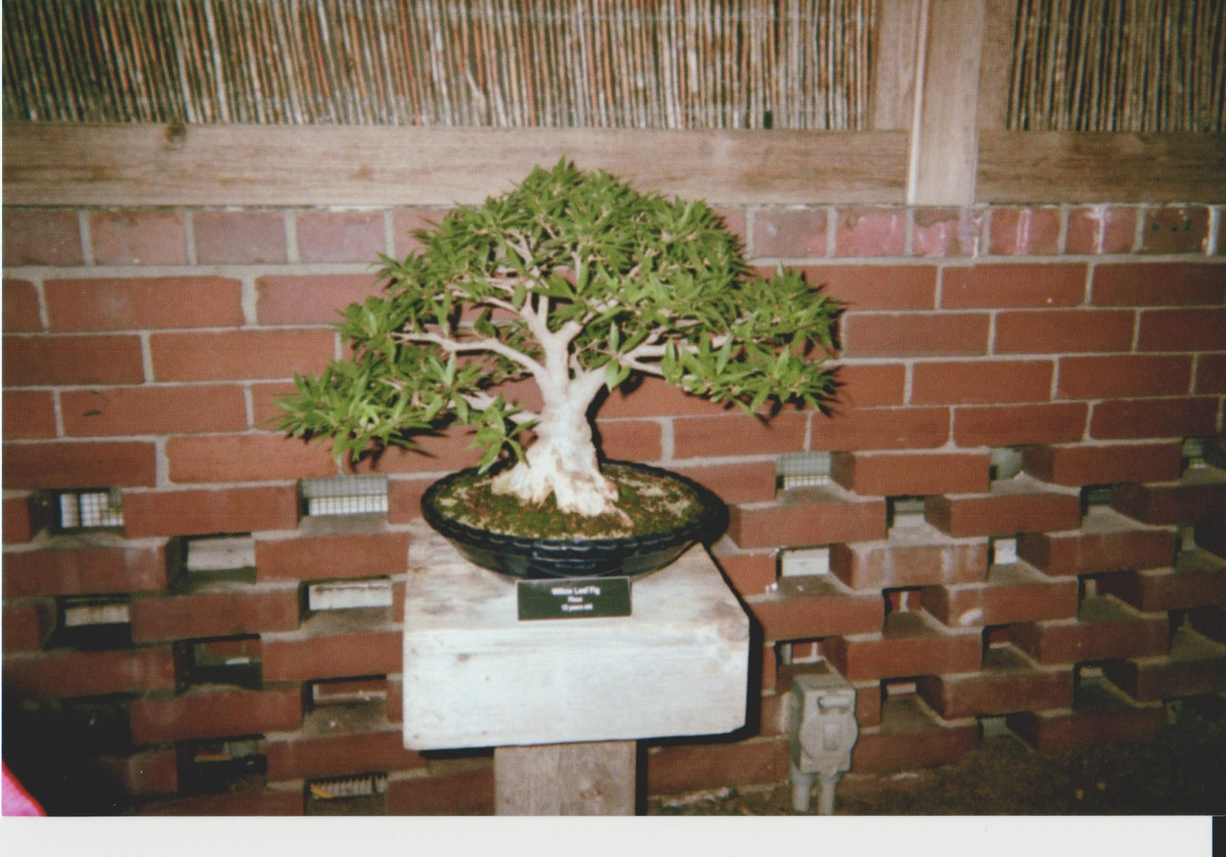 Second Bonsai at Phipps
