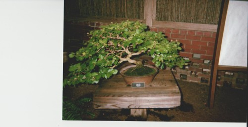 Third Bonsai