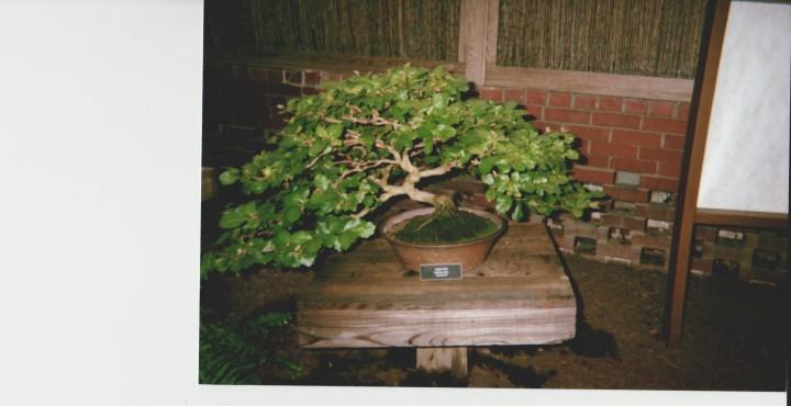 Third Bonsai