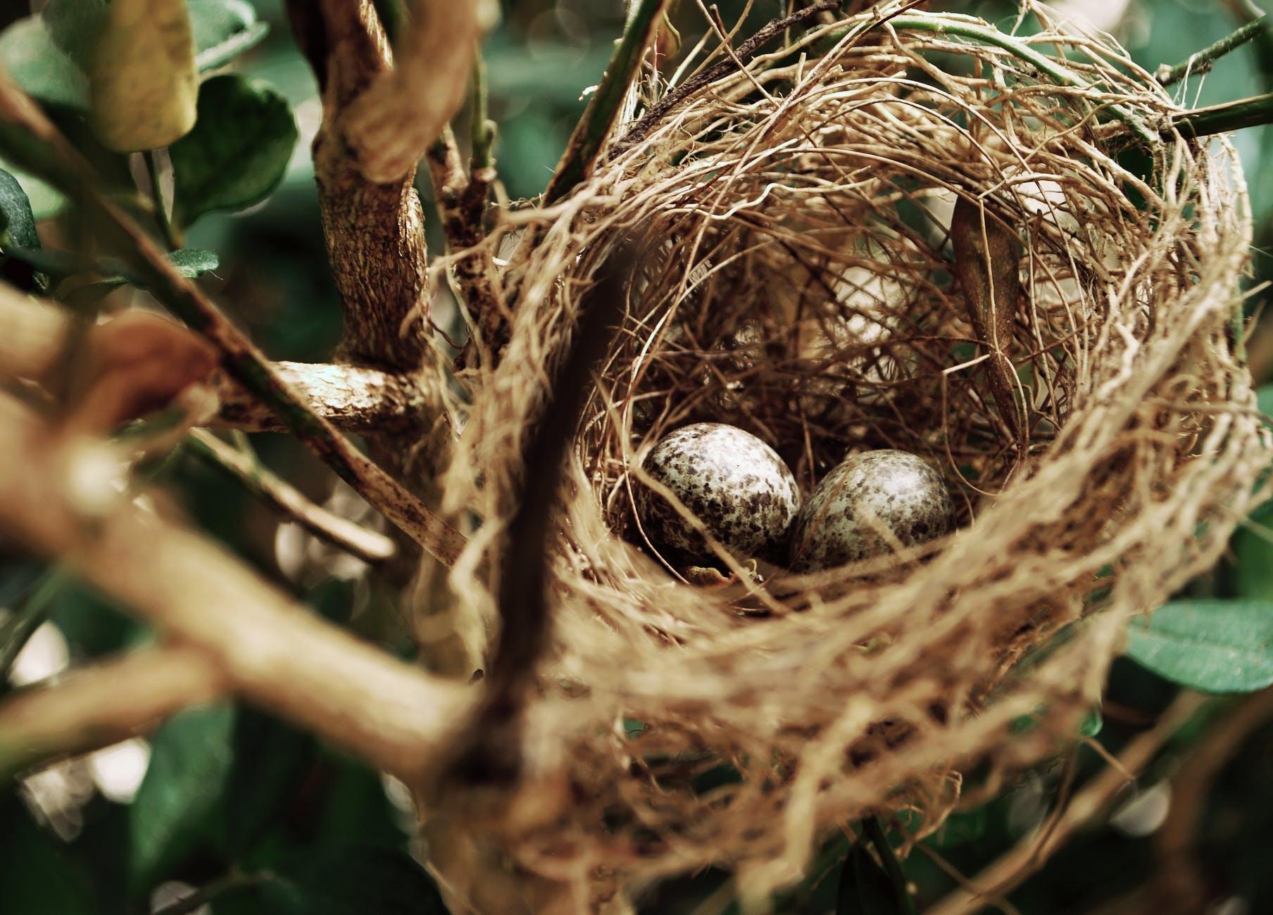tilt shift photo of two white bird eggs on a nest