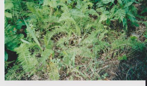 A grouping of young ferns